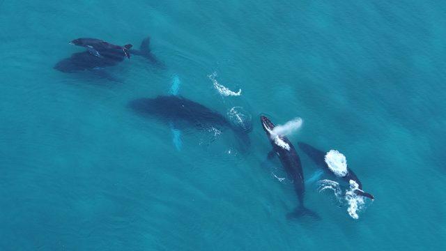 Panamá destino de incentivo – Avistamiento de Ballenas